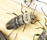 Encyclop die xylophages for Insecte du bois capricorne